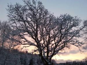 Egetræ_vinter